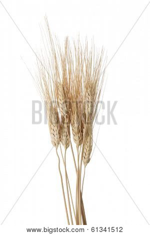 bunch of wheat on white