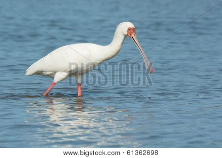 An African Spoonbill (Platalea alba) with water dripping from its bill poster