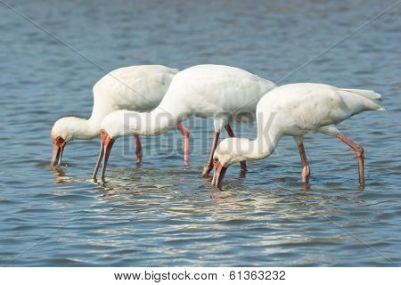 Three African Spoonbills Searching For Food In Unison