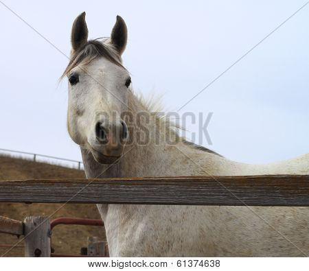 Alert Horse with fence