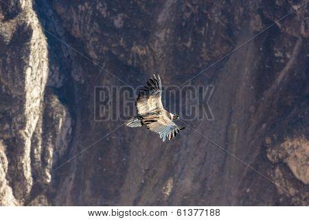 Flying Condor Over Colca Canyon, peru,south America