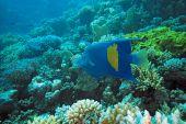 Big arabian Angelfish in the red sea poster