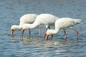 Three African Spoonbills (Platalea alba) searching for food in unison poster