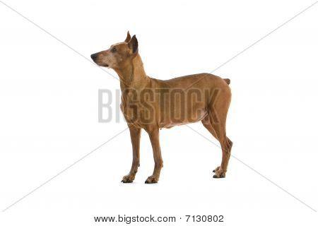 old brown doberman