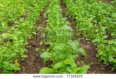 field with blossoming plant Brassica napus, for manufacture of o