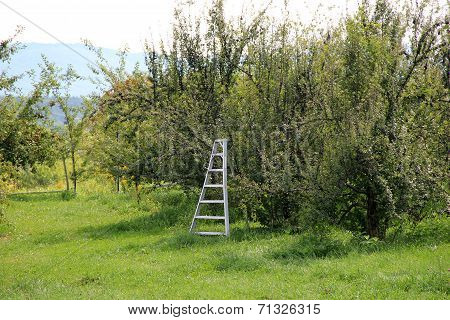 Steel ladder propped near apple trees