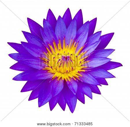 Purple Waterlilly Or Lotus Flower In Nature - Lotus Pond