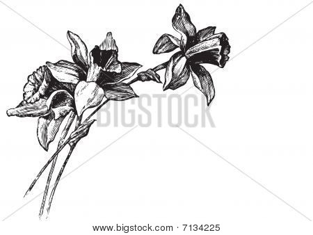antique narcissi engraving (vector)