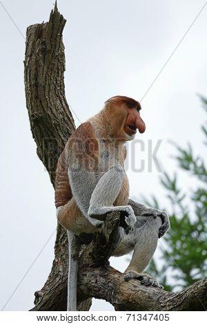 Proboscis Monkey Or Long-nosed Monkey