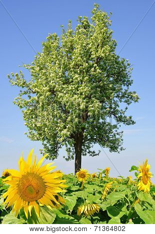 sunflower field and tree