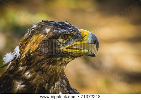 imperial eagle, head detail with beautiful plumage brown poster