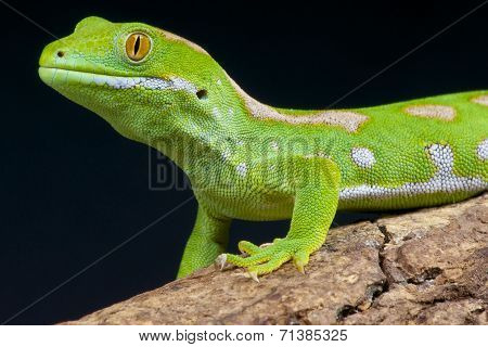 Northland green gecko / Naultinus grayii