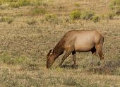 Closeup of a wild healthy mature female elk grazing in pasture during late summer season poster