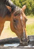 Red bay horse drinking out of a water trough poster