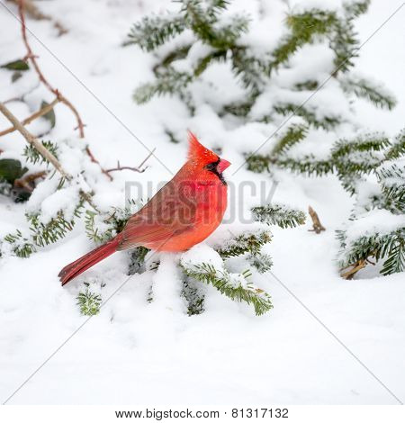 Male Cardinal In The Snow