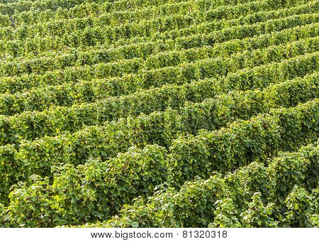 Green Vineyards At The River Moselle