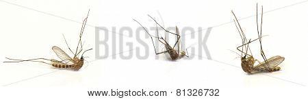 Three dead mosquito
