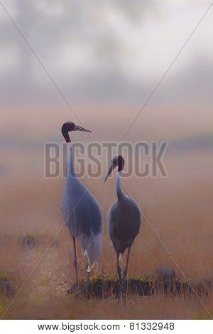 couple of sarus cranes in Nepal