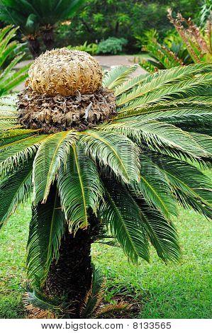 Cycas revoluta (sago cycad) - botanical garden Funchal, Madeira