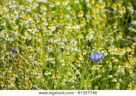 Blue Flowering Cornflower Between Overblown Wild Chamomile Plants.