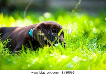 Cute Labrador Puppy Close Up Playing In green grass in the summer time poster