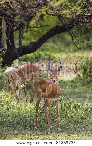 A Herd Of Male Impala, Aepyceros Melampus, Standing In The Vegetation In Serengeti National Park,