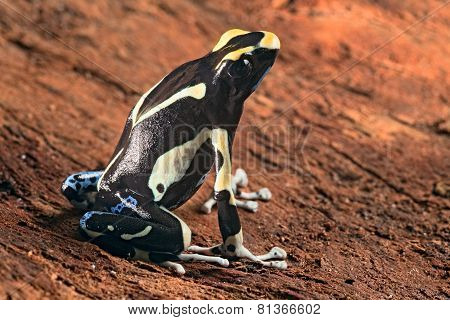 painted poison dart frog Dendrobates tinctorius macro of a beautiful poisonous amphibian poster