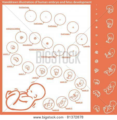 hand-drawn illustration of a human fetus and embryo development