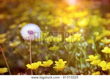 Dandelion seeds - dandelion and yellow flowers