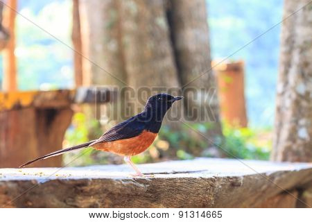 White-Rumped Shama in forest,  birdwatching in nature poster