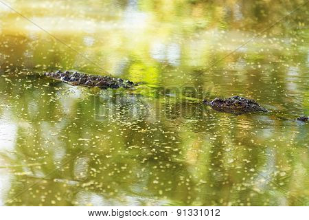 Crocodile In Baringo Lake