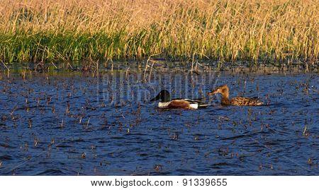 Northern shoveler, anas clypeata, ducks