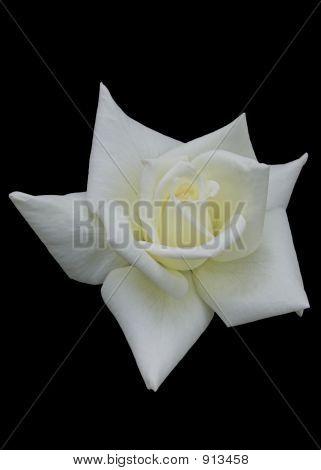 White Rose Over Black