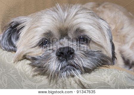 Sad Sleepy Lhasa Apso Dog