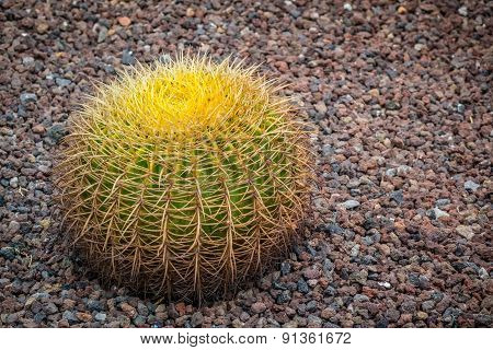 Small Golden Barrel Cactus
