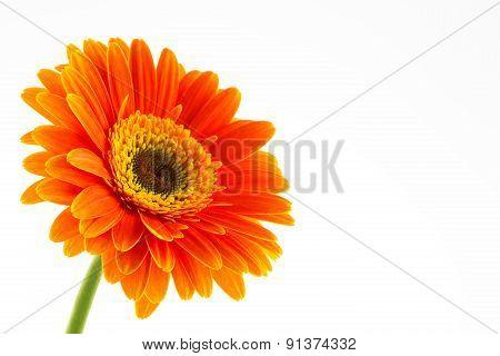 Orange Daisy Gerbera Flower on white.