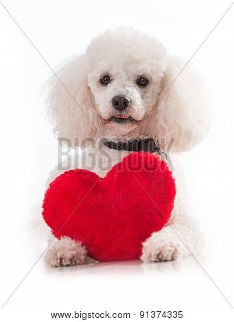 A lover valentine puppy dog with a red heart isolated on white.