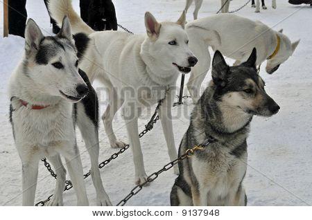 Race Dogs