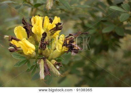 humble-bee at work