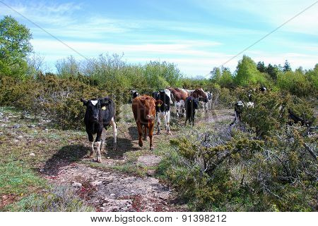 Looking Cattle