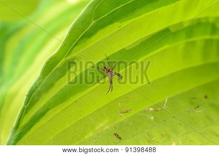 Spider On A Leaf Of A Flower On The Web Host