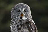 A Great Grey Owl (Strix nebulosa) with it's eyes closed. poster
