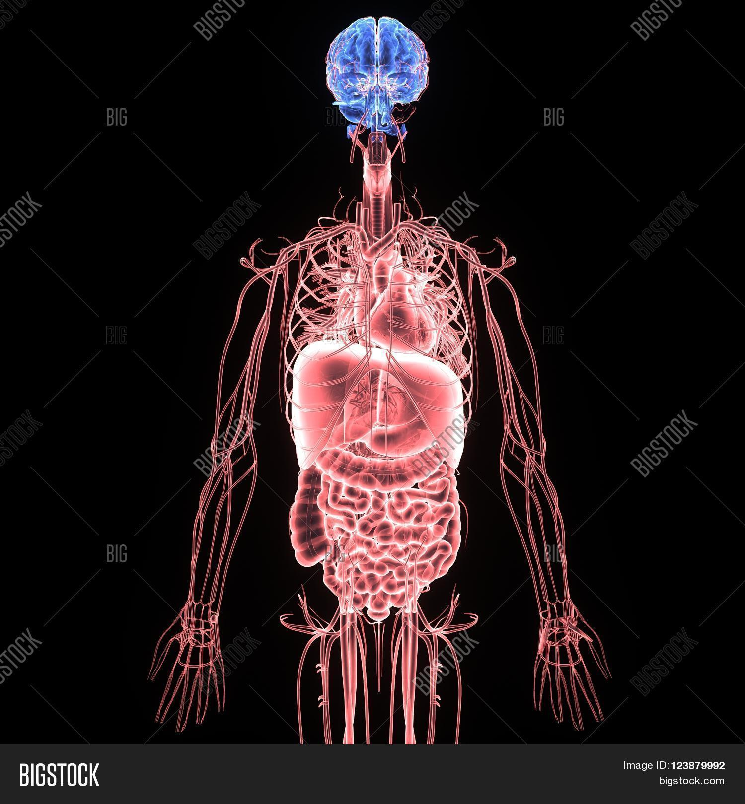 Human Body Entire Image Photo Free Trial Bigstock