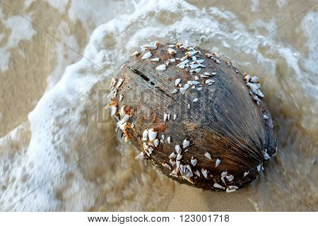 Goose barnacles or gooseneck barnacles on coconut.