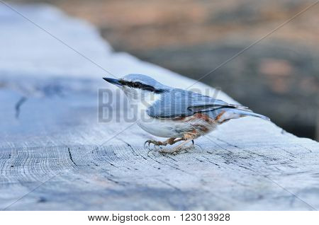 Eurasian nuthatch. The Eurasian nuthatch or wood nuthatch is a small passerine bird found throughout temperate Asia and in Europe, where it is often referred to just as the nuthatch.
