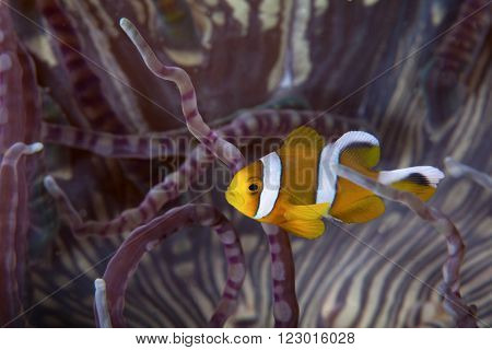 A close up of a clown fish in Mozambique