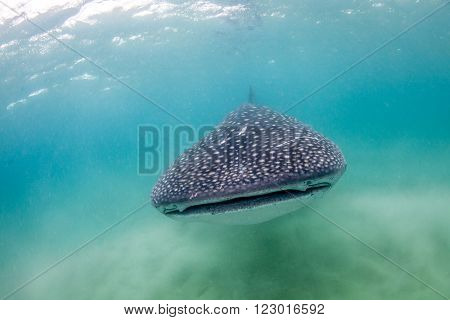A whale shark peacefully approaching along a sandy bottom in shallow clear water