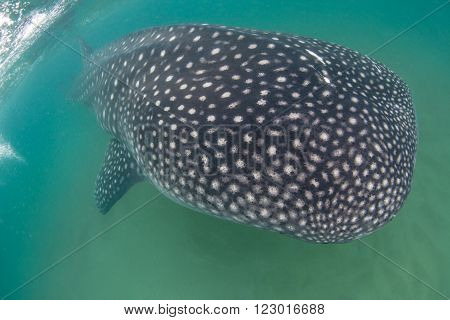 A close up of a whale shark swimming peacefully past in shallow water with a sandy bottom