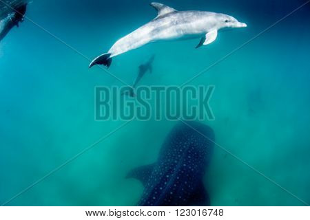 A whale shark being escorted by a pod of dolphins and a snorkeller along a sandy bottom in clear blue water