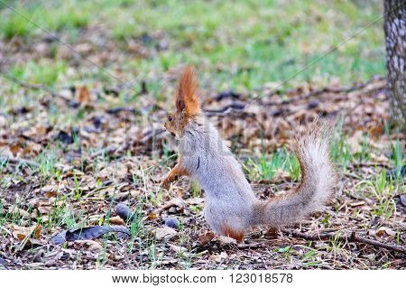 squirrel stands on hind legs, semi profile, in your mouth hazelnut, the nose a little soiled in the ground, hid the nuts